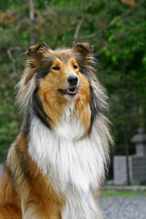 Schotse Collie (Lassie)
