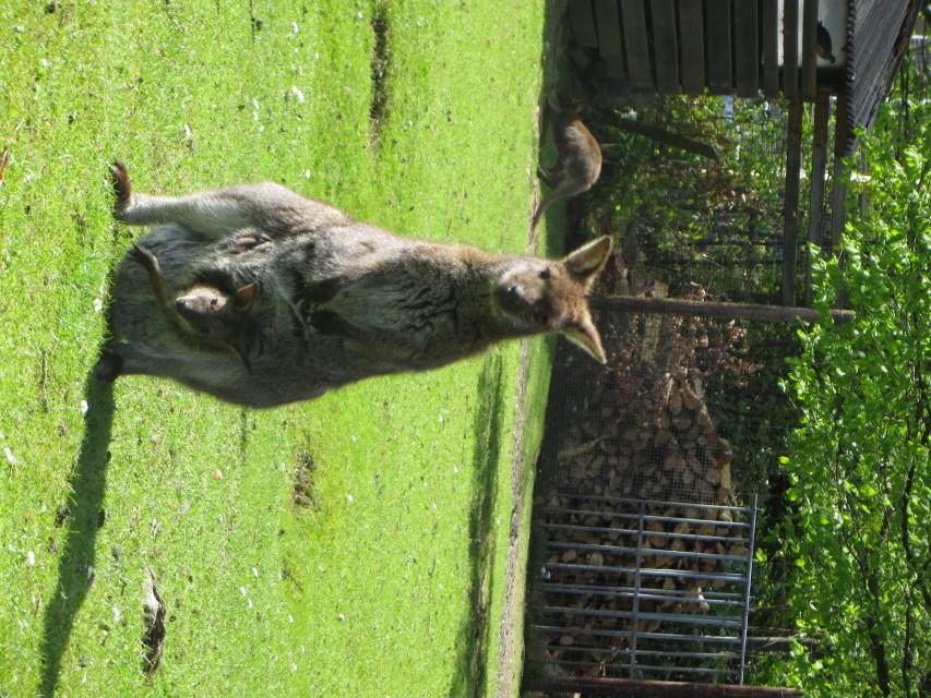 Hoera voor de babykangoeroe!