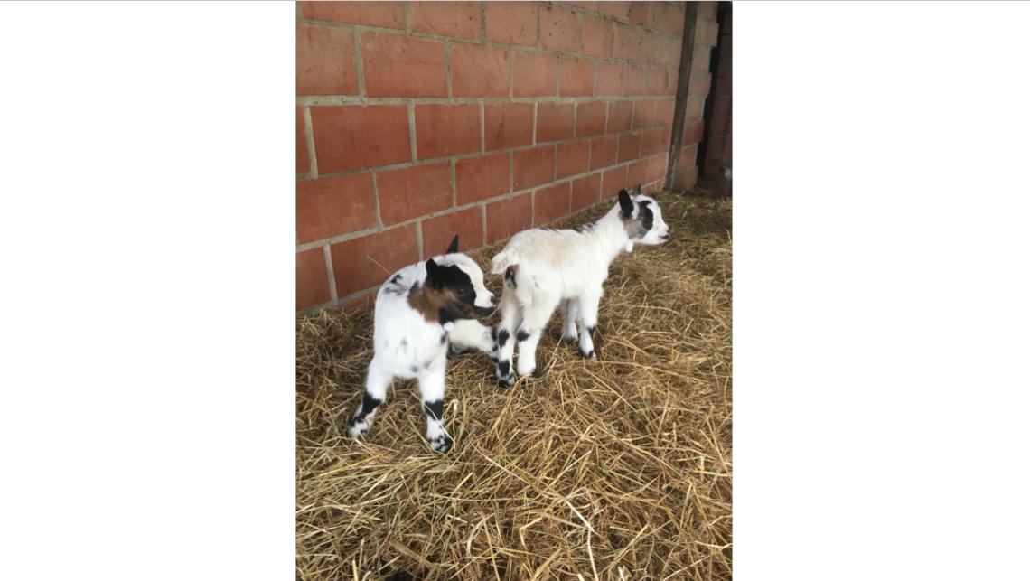Hoera, er zijn twee geitjes geboren